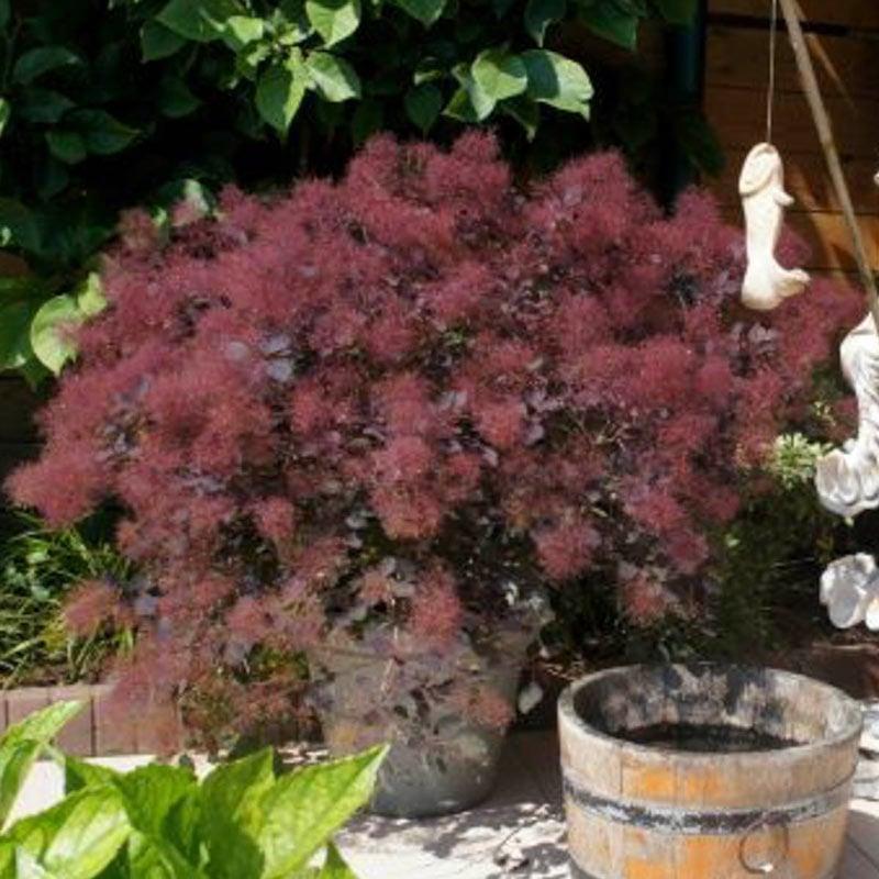 Dusky Maiden Smoketree