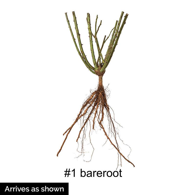 Forever Amber™ Floribunda Rose