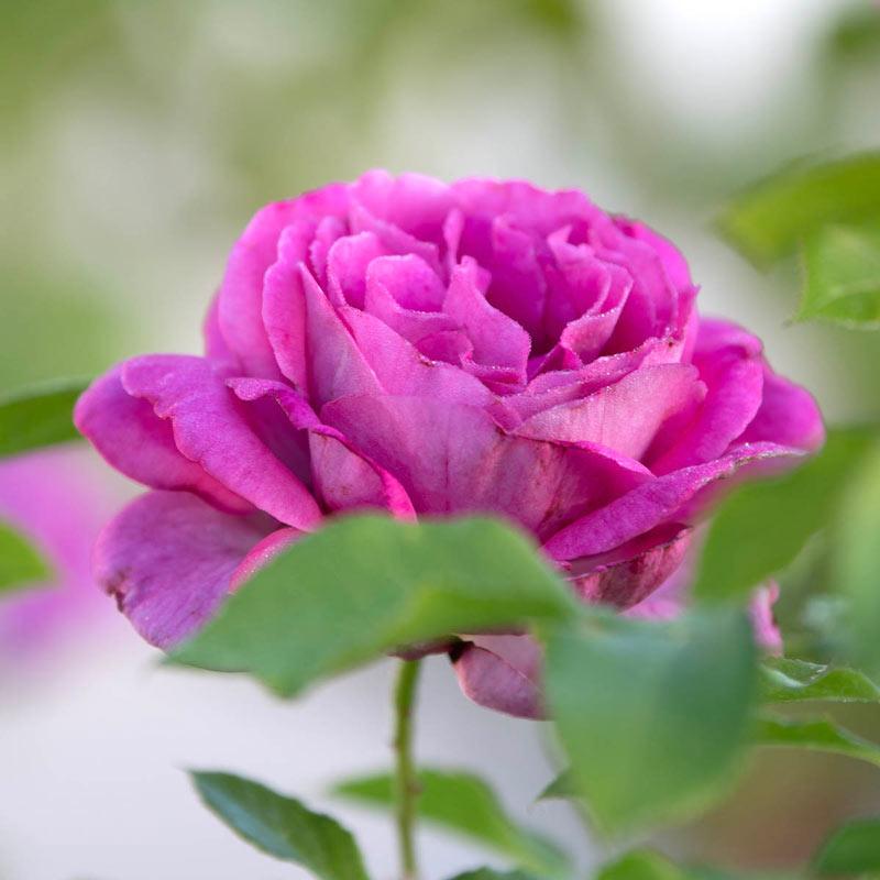Sweet Madame Blue™ Floribunda Rose