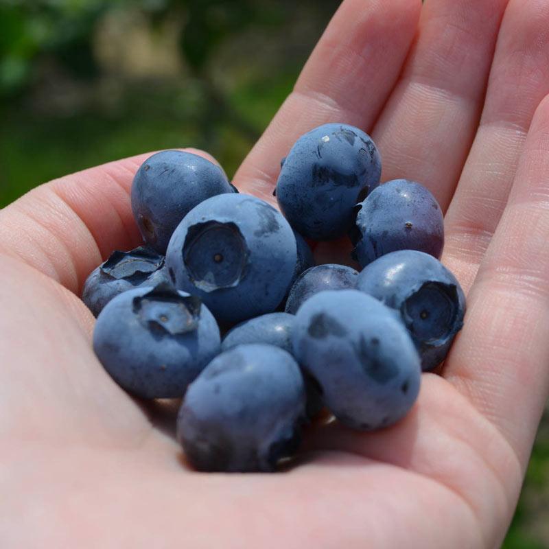 Blueberry Spartan