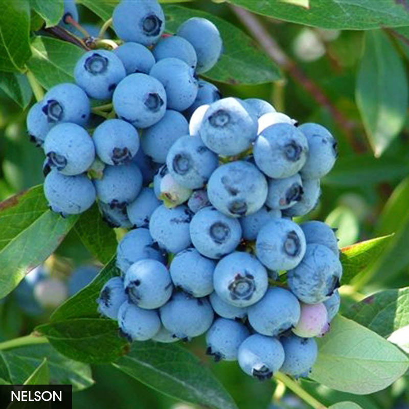 Best Freezing Blueberry Collection
