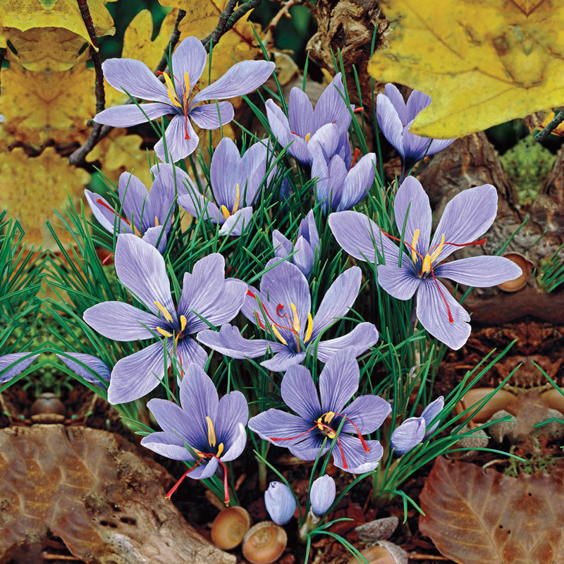 Saffron Fall Crocus