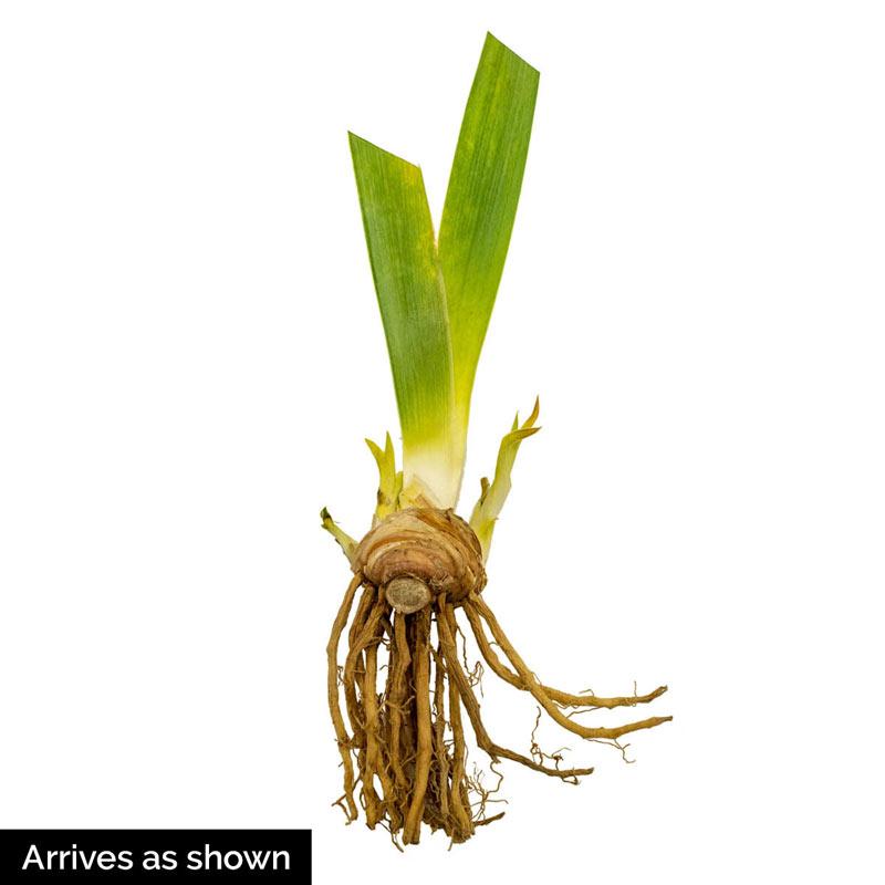 Hermes Bearded Iris