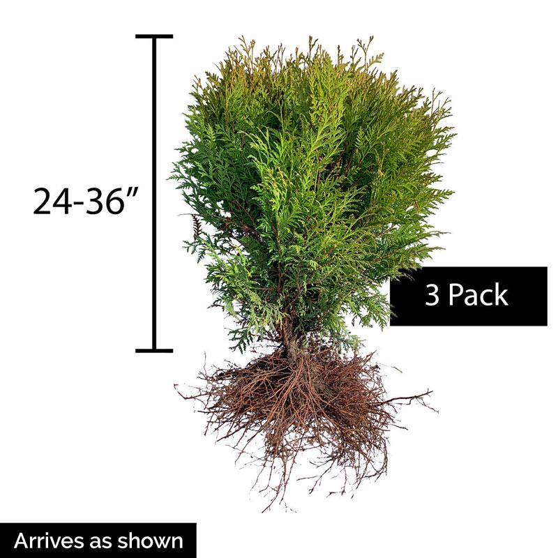 Woodward Globe Arborvitae Hedge
