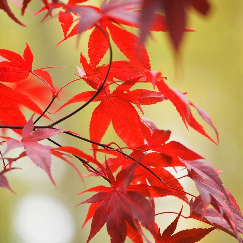 Emperor I Japanese Maple Tree