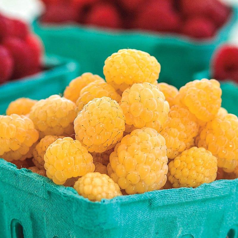 Anne Yellow Raspberry