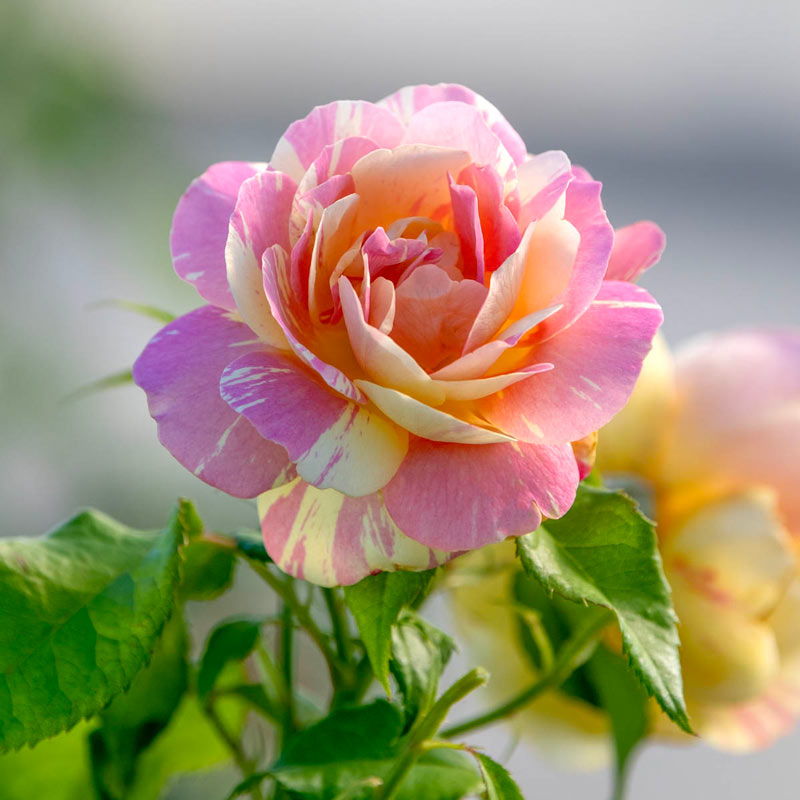 Pop Art™ Grandiflora Rose