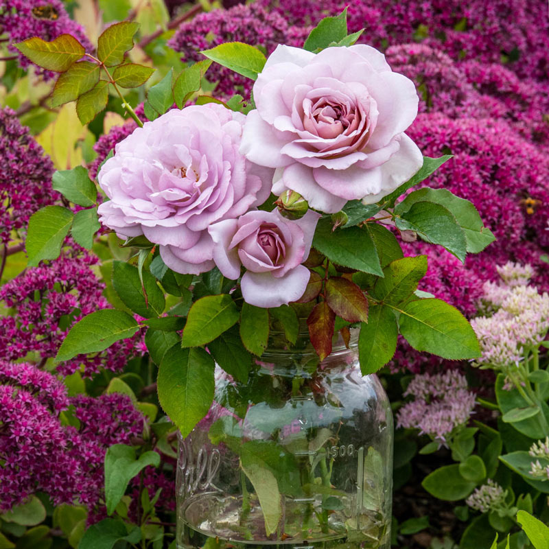 Silver Lining™ Floribunda Rose
