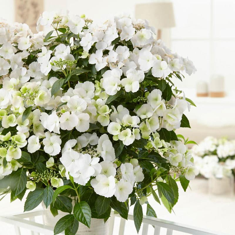 Fairytrail Bride™ Cascade Hydrangea™