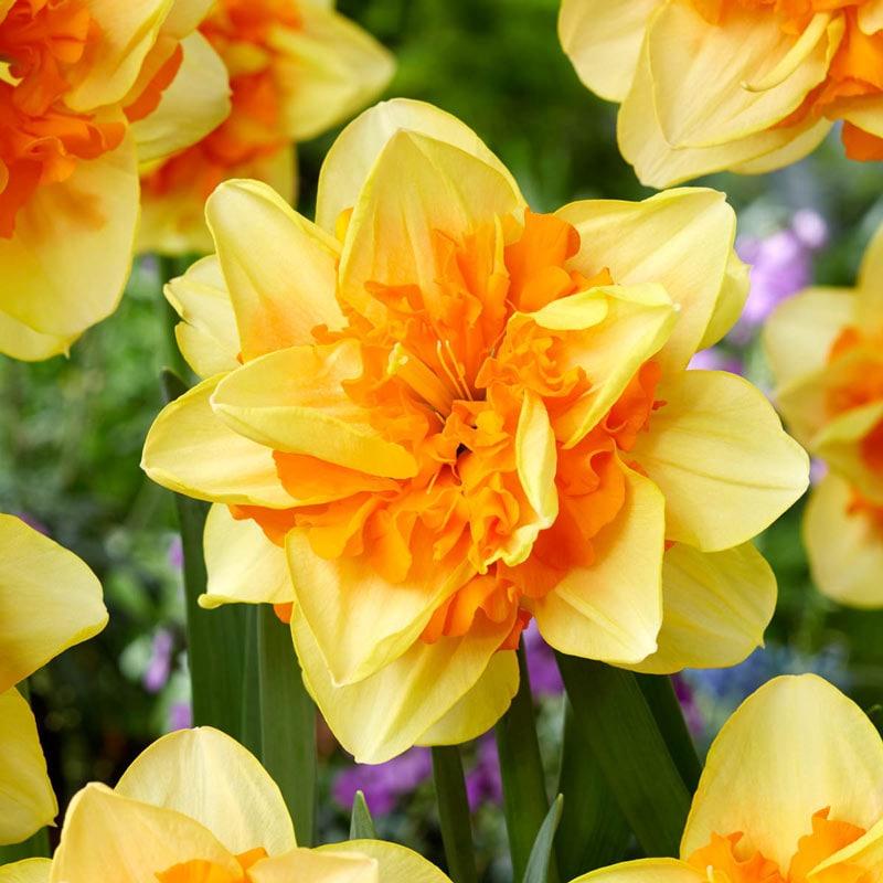 Suncatcher Double Daffodil