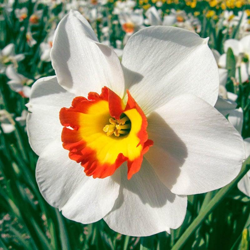 Colin's Joy Daffodil