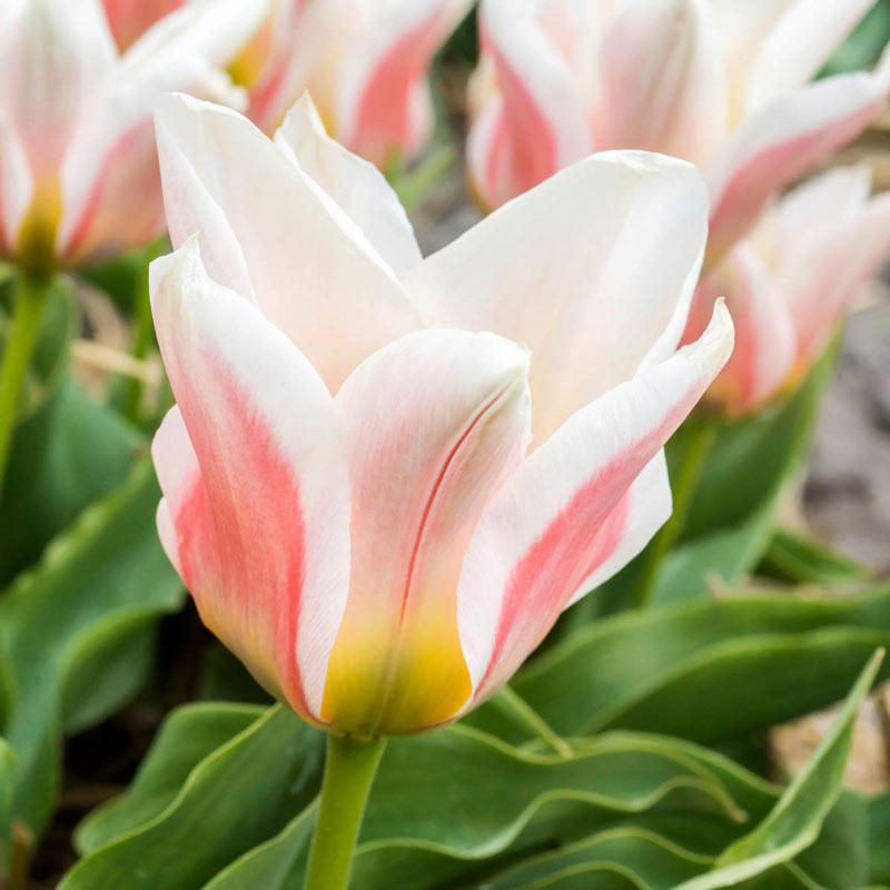Serrano Tulip