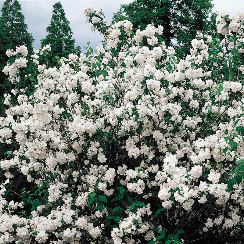 Minnesota Snowflake Mockorange Hedge