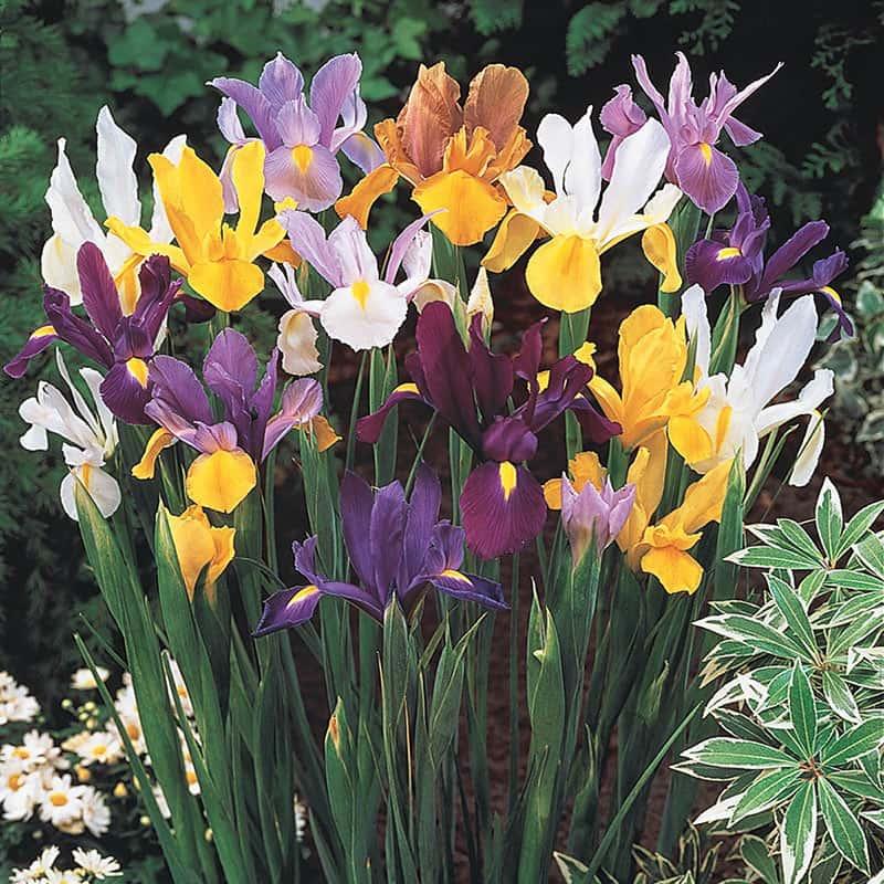 Dutch Iris Mix