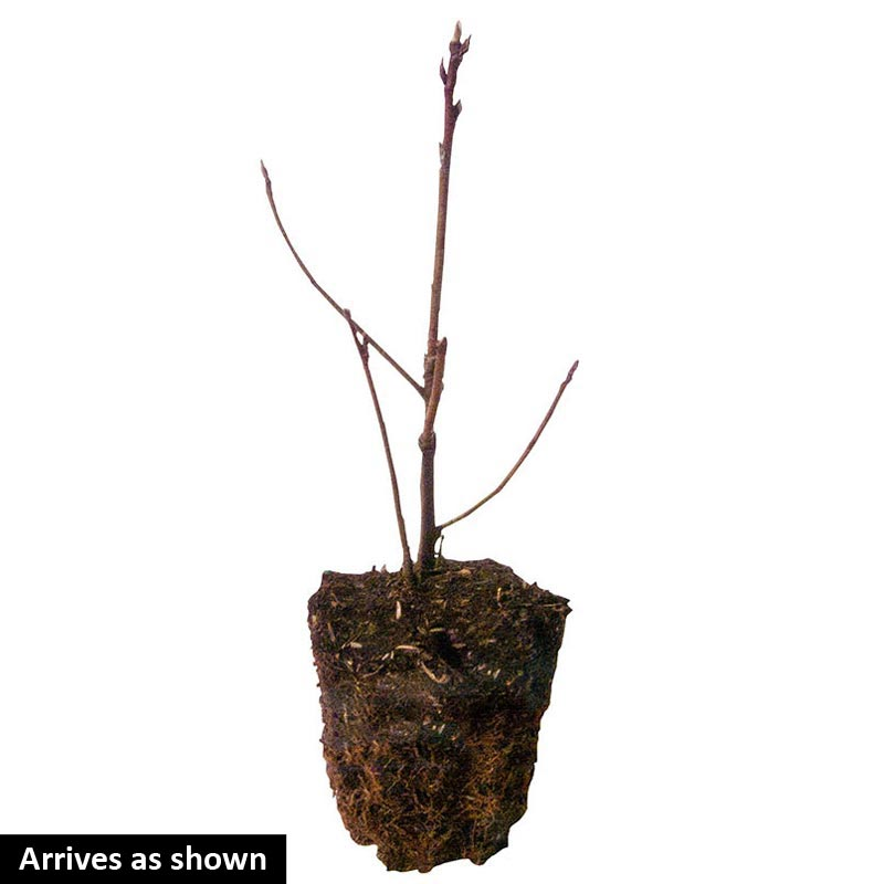 Standing Ovation™ Serviceberry