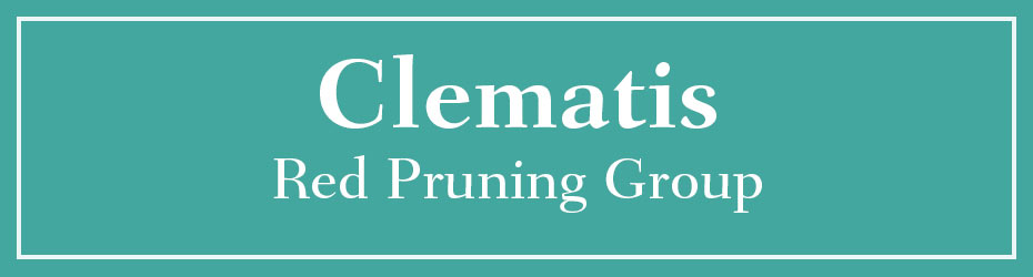 Red Pruning Clematis