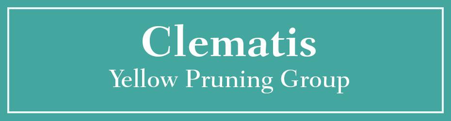 Yellow Pruning Clematis