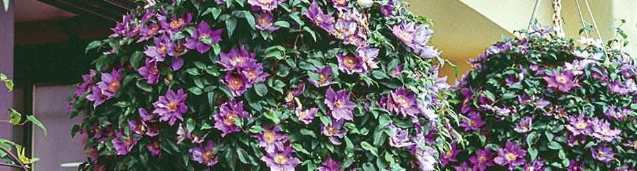 Clematis for Containers