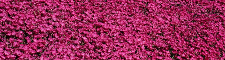 Carnations & Dianthus Plants