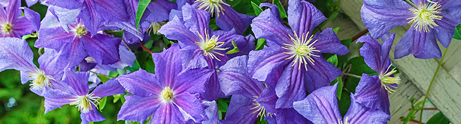 Later Large Flowering Clematis