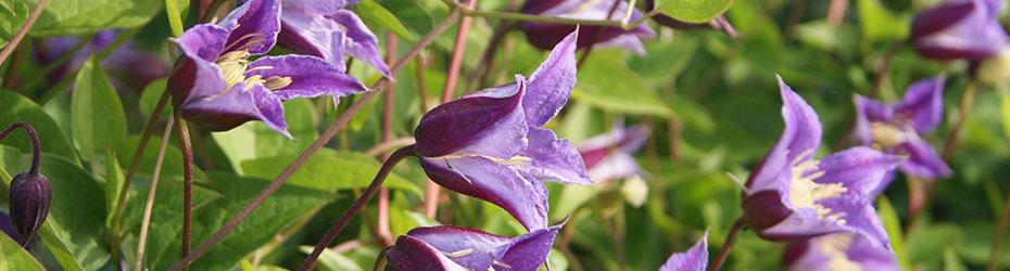 Abundant Flowering Clematis