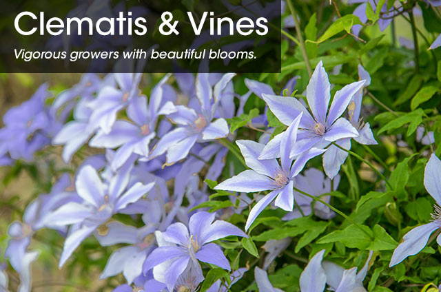 =SpringHill Clematis & Vines
