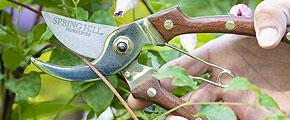 Myth: Pruning harm Clematis