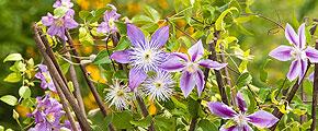 Myth: Short flowering time