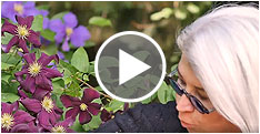 Why Clematis? Video