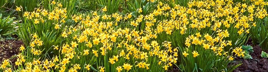 Daffodil Bulbs