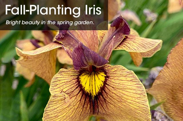 SpringHill Fall-Planting Iris