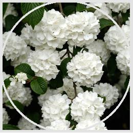 Flowering Hedges