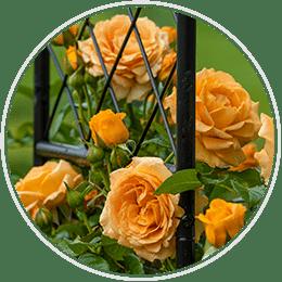 Jumbo Climbing Roses
