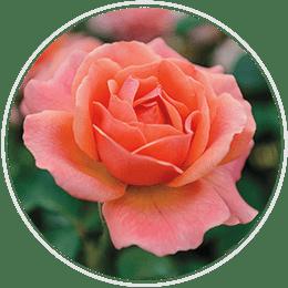 Jumbo Floribunda Roses