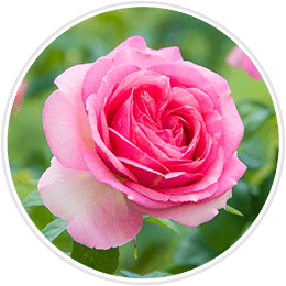 Jumbo Grandiflora Roses