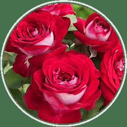 Jumbo Hybrid Tea Roses