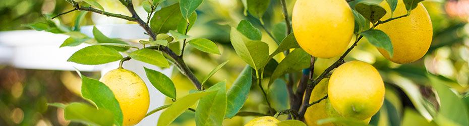 Patio Fruits