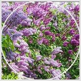Pollinator Attracting Hedges