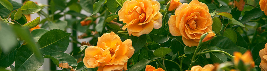 Roses & Rose Bushes