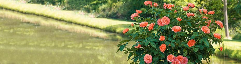 Tree Roses