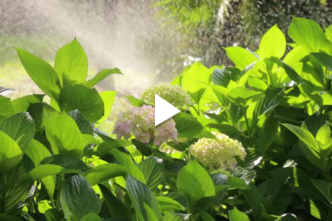Hydrangea Bareroot - Watering