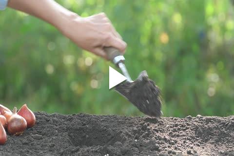 Hardy Bulbs Tulip - Planting