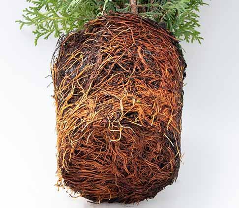 Pot Bound Roots