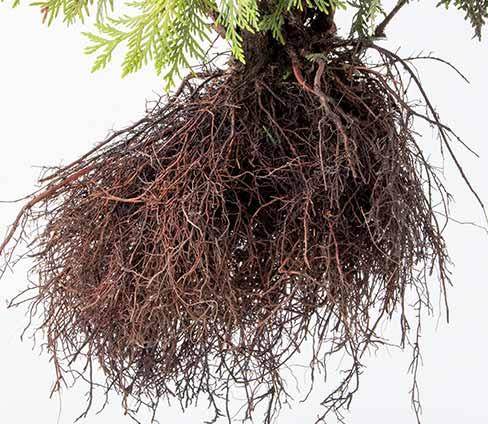Shrub Roots
