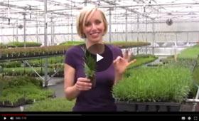 Spring Hill presents Fragrant Lavender