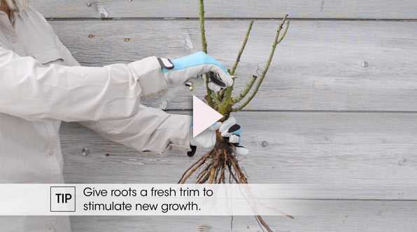 Planting Bareroot Roses—Spring Hill Nurseries<sup>®</sup>
