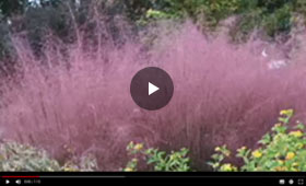 Spring Hill presents Pink Muhly Grass