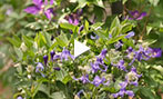 Why shrub clematis?