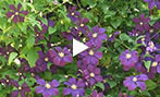 Why vining clematis?