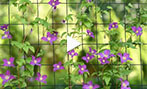 Why Clematis?